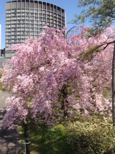 Cherry blossoms in front of the hotel