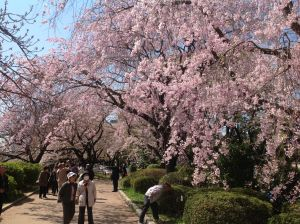 Cherry blossoms in the Tokyo Imperial Gardens.