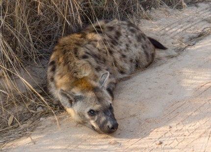 219 KNP Hyena
