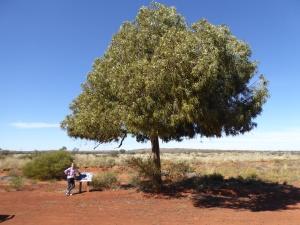 Lone Kurrajong tree