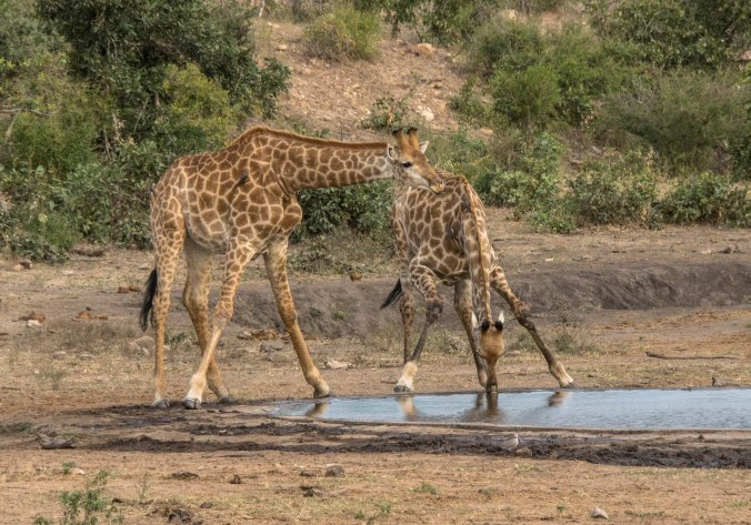 044 Kruger- Giraffes