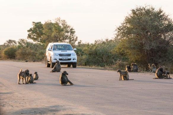 050 Kruger- Baboons at dusk.jpg