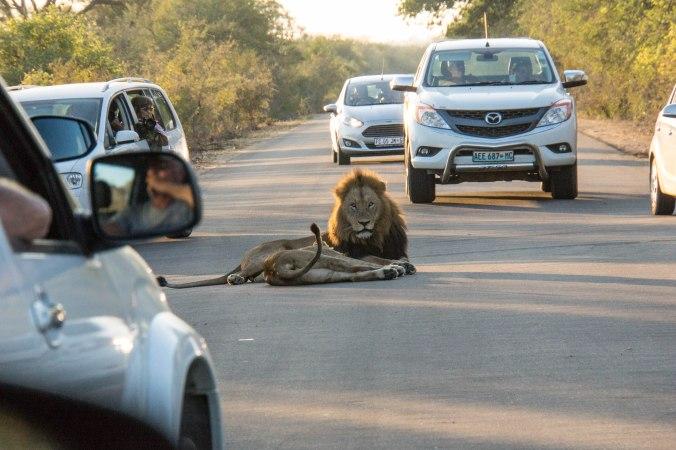 081 Kruger - Lions