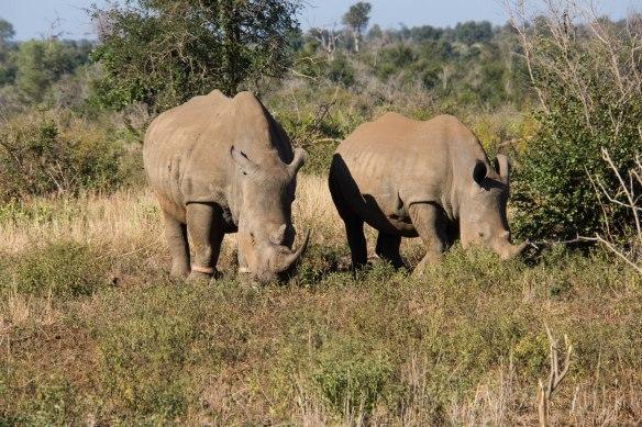 096 Kruger - Rhinos
