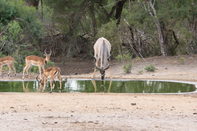 133 Kruger - Kudu at waterhole