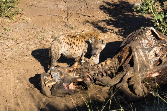 153 Kruger - Hyena with carcass