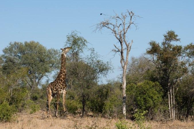 157 Kruger - Giraffe