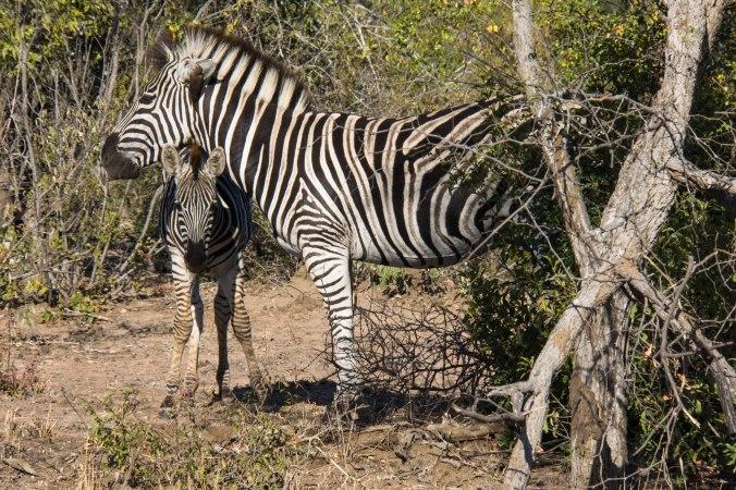 163 Kruger - Zebras