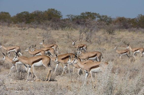 194 Etosha - Springbok herd