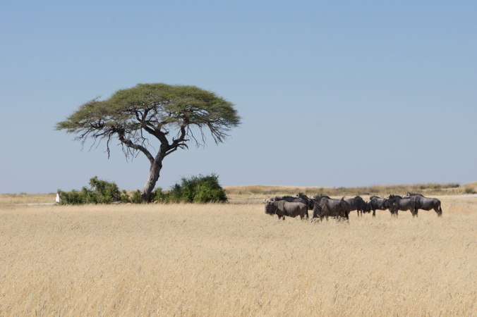 202 Etosha - Tree and blue wildebeest