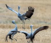 Blue-Crane-2-Stephen-Hammer1200x800