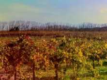 Grape vines in their Autumn glory