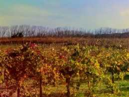 Grape vines in their Autumn glory